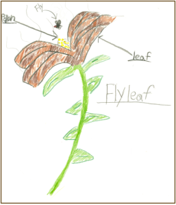 student drawing of a fly-pollinated flower