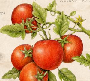 tomato botanical print